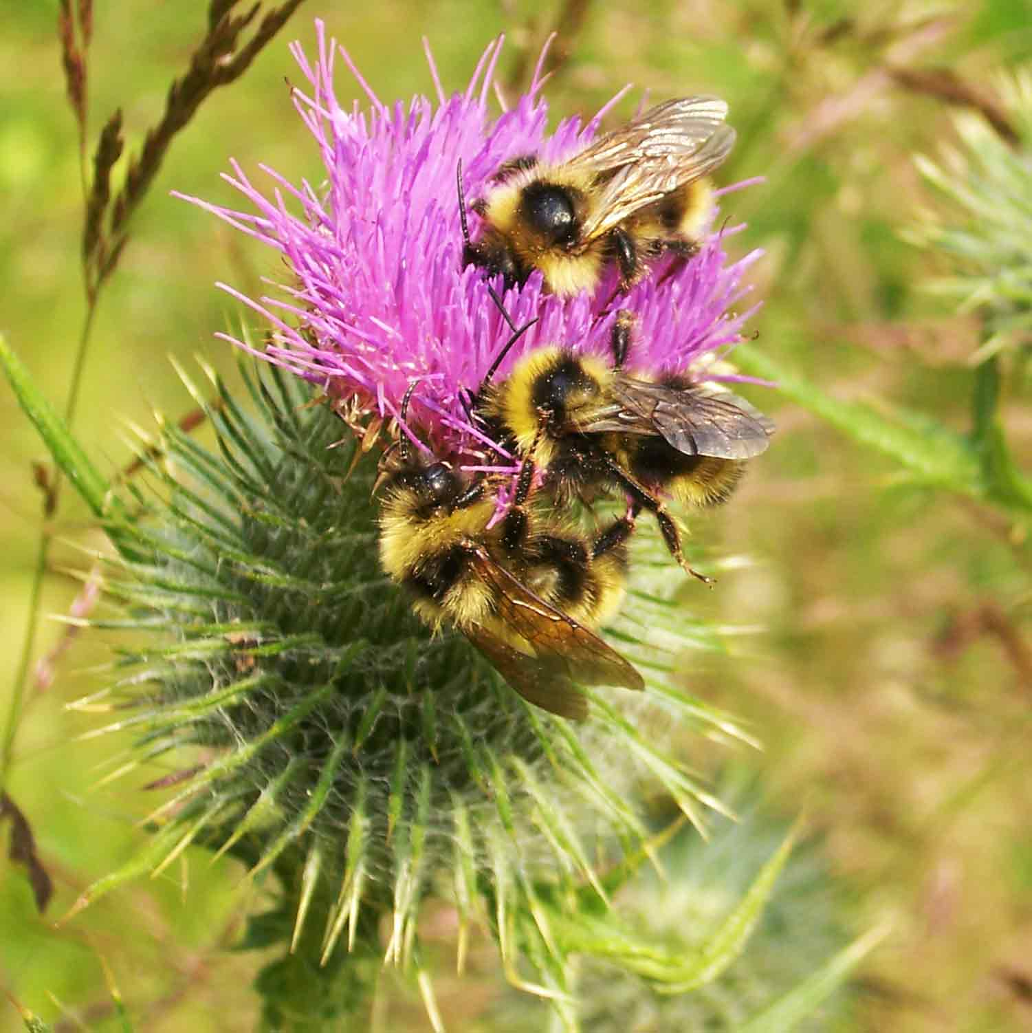 Three bees on a pink flower